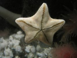 Sea star by Keome