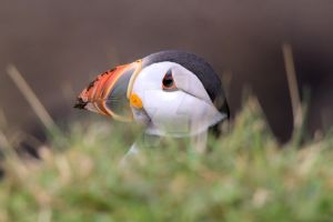 Puffin I - Isle of Lunga by Andy-Stewart
