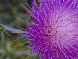 Another Thistle. by itryitworks
