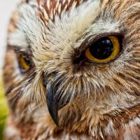 Northern Saw-whet Owl 2 by GreyVolk