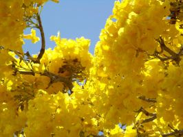 Goldtree Blossoms Close Up by Dream-finder