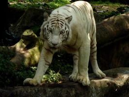 White Tiger Stock 2 by C0L