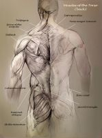 School anatomy studies: Back muscles by Travis-Anderson