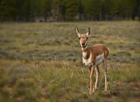 Deer at Bryce Canyon N.P. by scottsmith17
