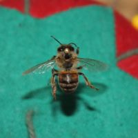 Pinned Bee 2 by HollowThinker