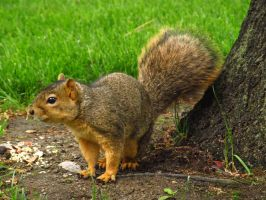 Some Kind of Fox Squirrel Maybe? by koshplappit