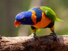Parrot by chillfox23