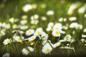 *Daisies by olgsss