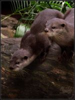 Animal Photos: Otter Madness by CunningFox