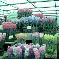 Chelsea Full Spectrum - Hyacinths by Okavanga