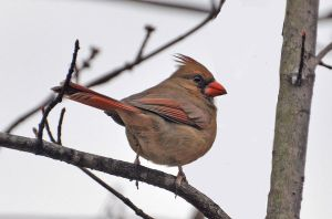 Female Cardinal 2-10-12 by Tailgun2009