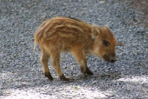 Baby Boar 01 by gaothaire