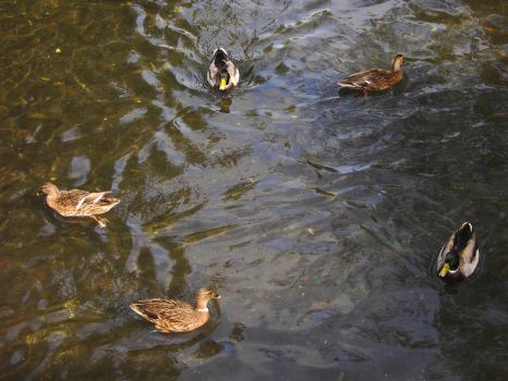 Ducks 2 by F-L-O-W-E-R-S