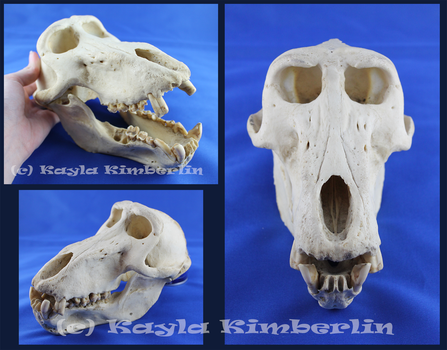 Geriatric Cape Baboon Skull by BluesCuriosities