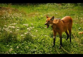 the maned wolf by Lucy-Redgrave