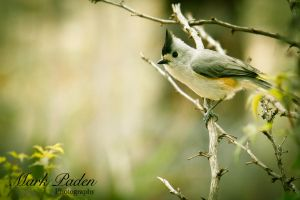 Entice of the Titmice by thephotographicgenus