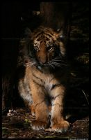 Baby Tiger: Evil Stare by TVD-Photography