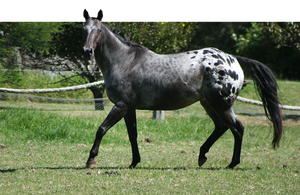 Appaloosa Trot/Look Over by YumpyStock