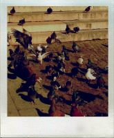 Pigeons by moumine-polaroid