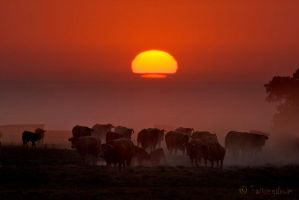 Cows At Sunset by Talkingdrum