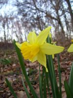 daffodil 1 by turtledove-stock