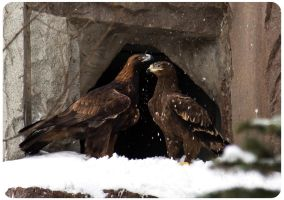 Golden Eagle Couple by OrangeRoom