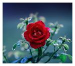 Backyard rose by relhom