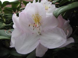 White Rhodie by The-Brade