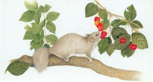 Glis glis eating cherries - edible dormouse by EpHyGeNiA