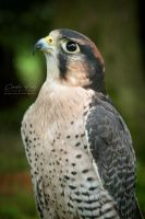 Lanner Falcon by lost-nomad07