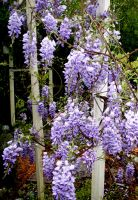 Wysteria Spring 2007 by oceanstarr