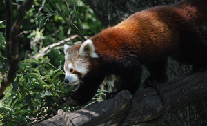Red Panda at Zoo by Hymnsie