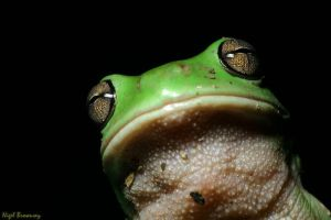Green Frog 4 by 1the1