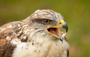 buzzard by Jendranga