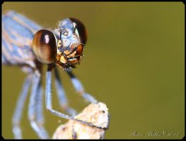 Damselfly - Smile by lasfe2g