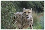 Cheetah: Hello II by TVD-Photography