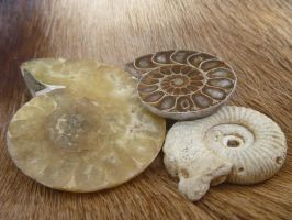 Ammonites by Jewel-Wing