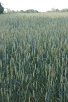 Wheat by LadyRStock