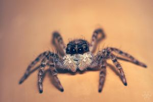 Jumping spider 2 by Gordanj