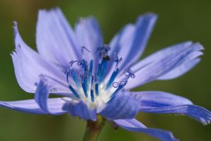 Cornflower by maXXie15