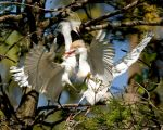 Egrets fighting for space by Mr-Monster-Mutt