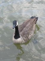 Canadian goose 02 by CotyStock