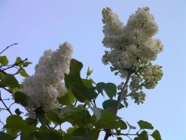 White lilac by paolaquasar