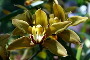 orchid 1 by stockofshutterbugmom