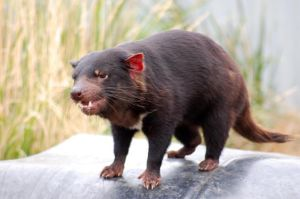 tasmanian devil 2 by DanielleMiner