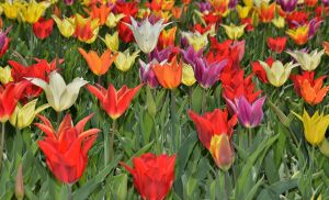 Tulips 3 by Placi1