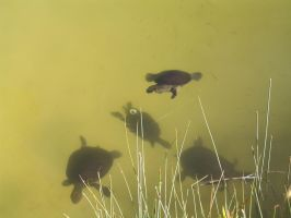 Turtles 4 by CAStock