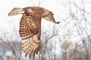 red tailed hawk by griffspixs