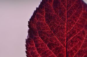 Red leaf by ErikaPlague