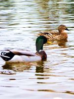 Two Ducks by Belle-Vaux